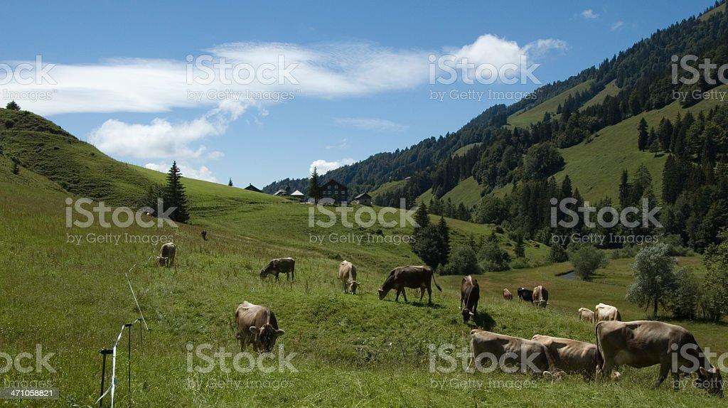 Happy Cows royalty-free stock photo