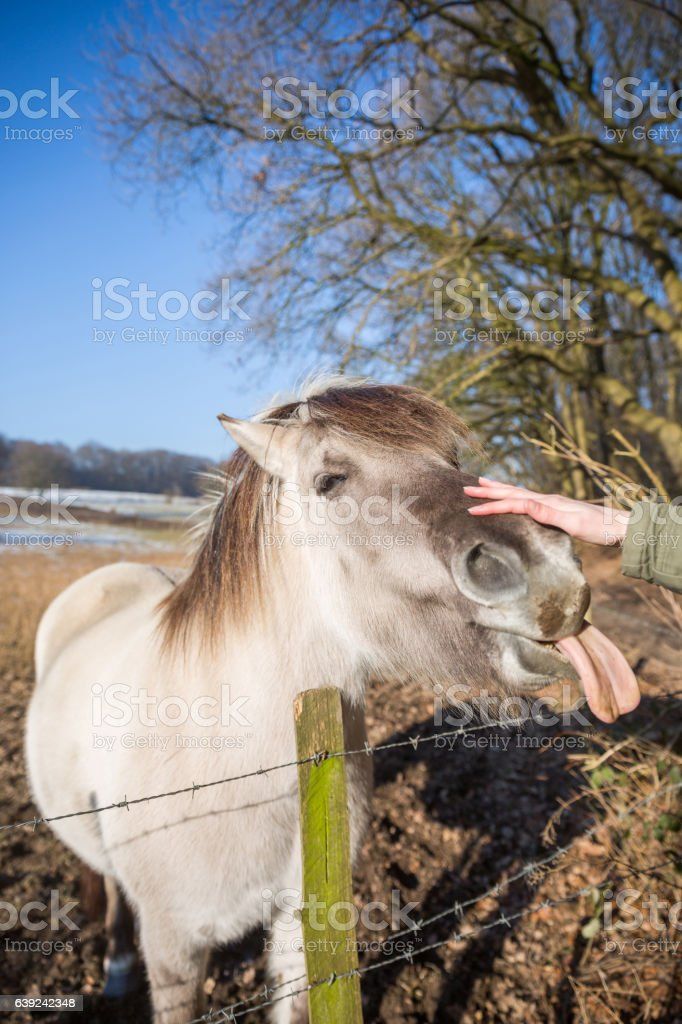Happy crazy horse in Dutch landscape stock photo