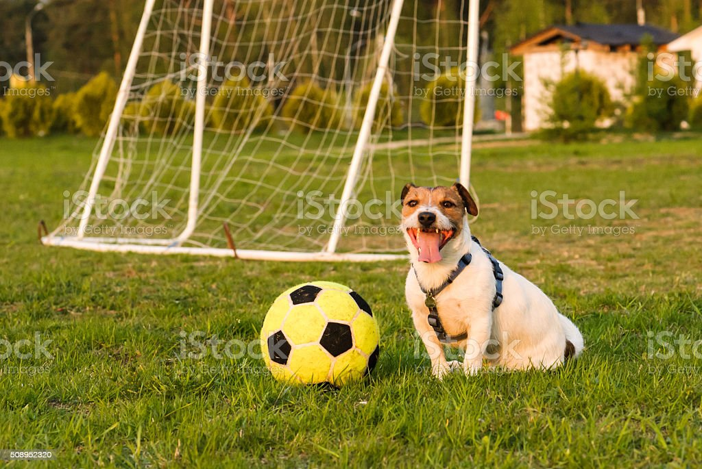 Happy dog after football game stock photo