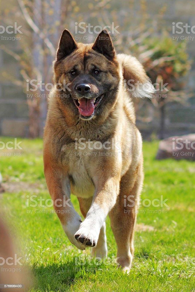 happy dog breed Akita inu is running stock photo