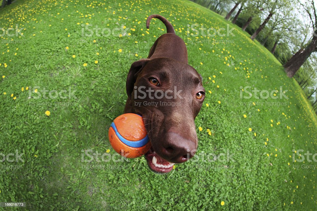 Happy Dog Chewing Ball stock photo