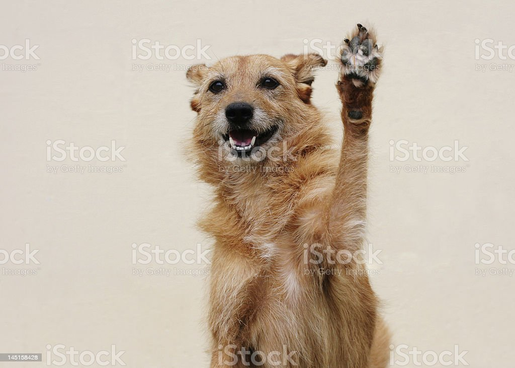 Happy dog doing high five stock photo