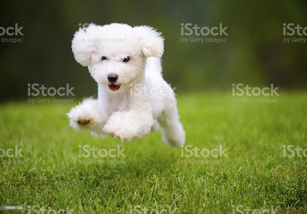 Happy Dog Fast Running On Lawn stock photo