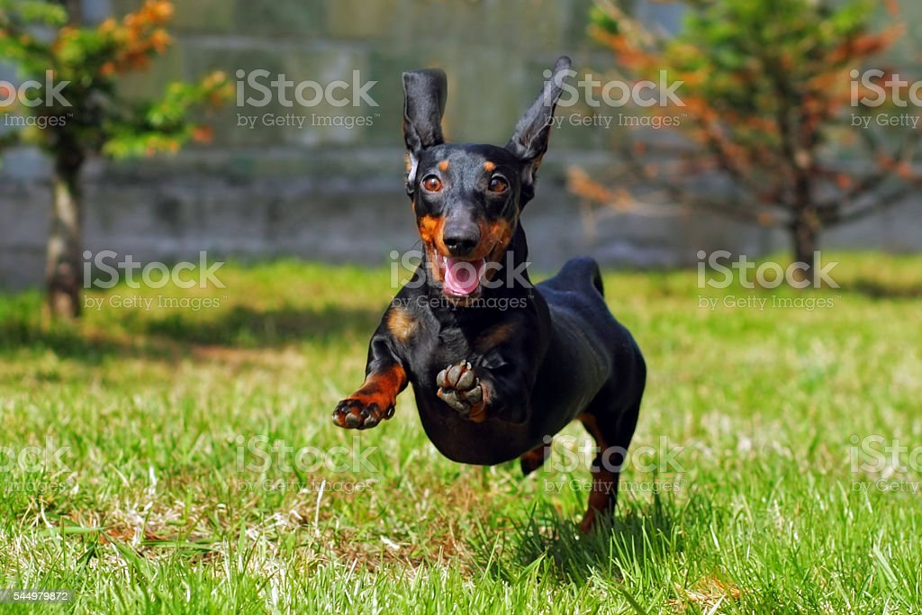 happy dog German haired dwarf Dachshund playing in the back stock photo