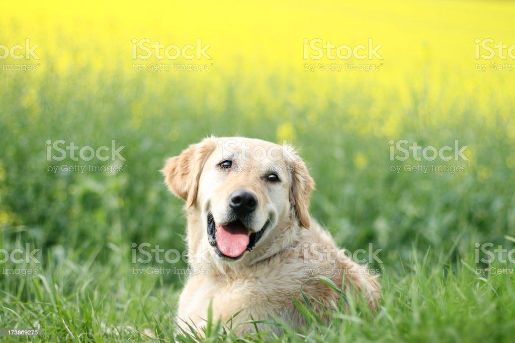 Happy Dog in Canola field royalty-free stock photo