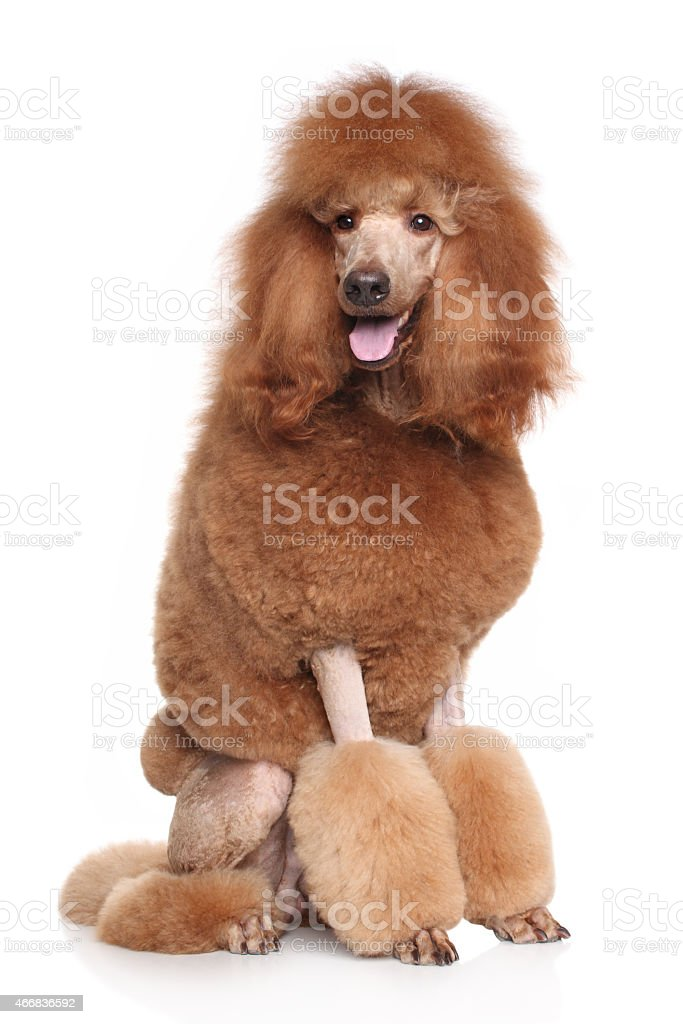 Happy dog in front of white background stock photo