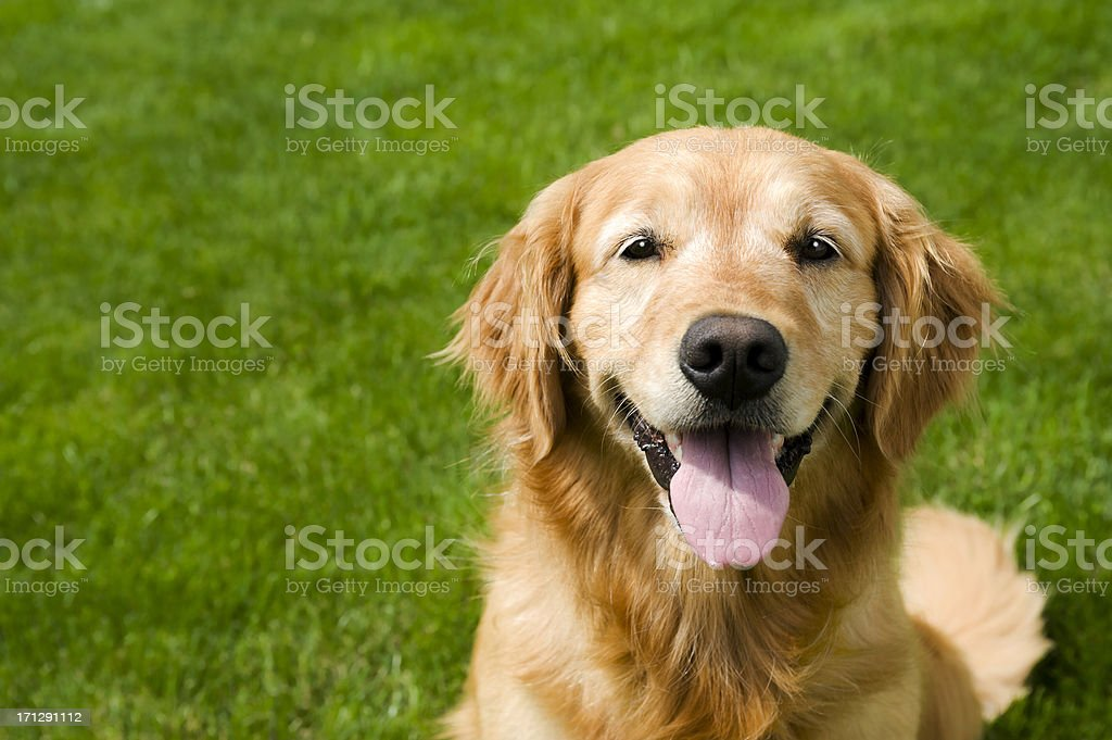 Happy Dog in sitting on grass - Golden Retriever stock photo