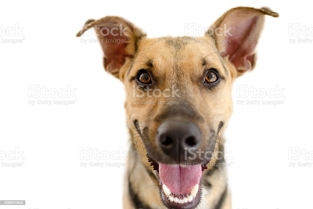 Happy Dog Isolated on White stock photo
