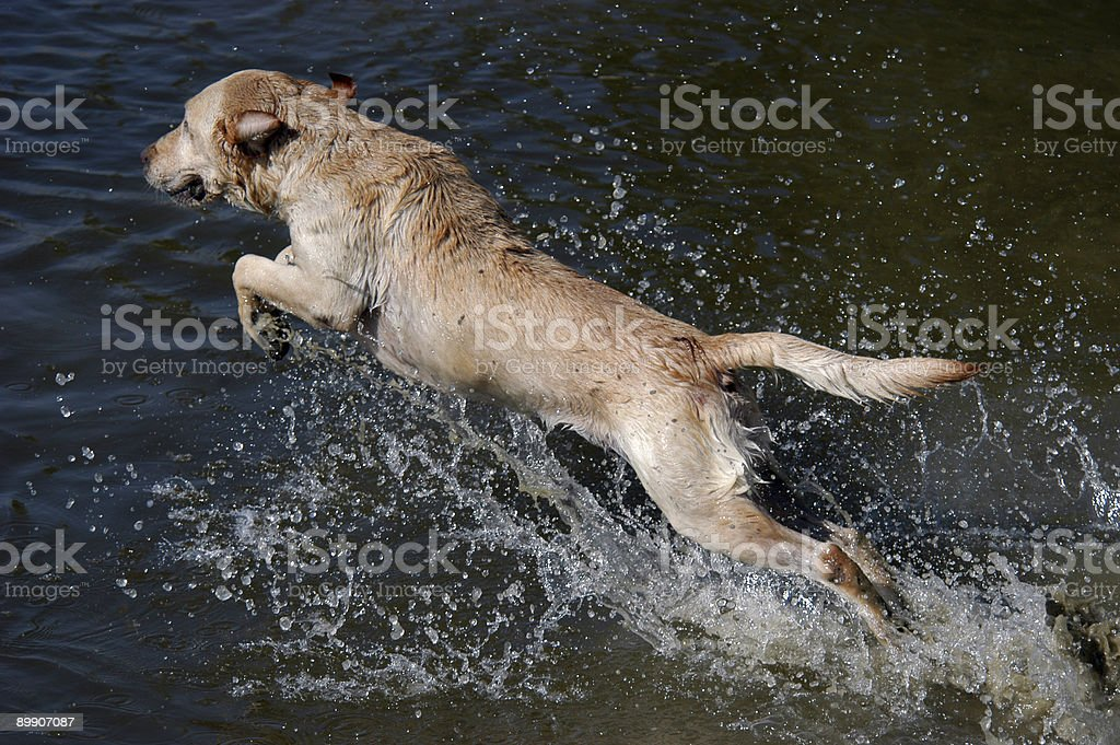 Happy dog Labrador retriever jumping into the water royalty-free stock photo