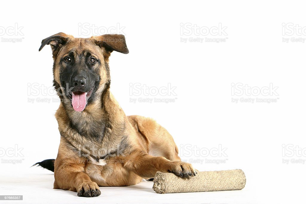 happy dog lays down with toy royalty-free stock photo