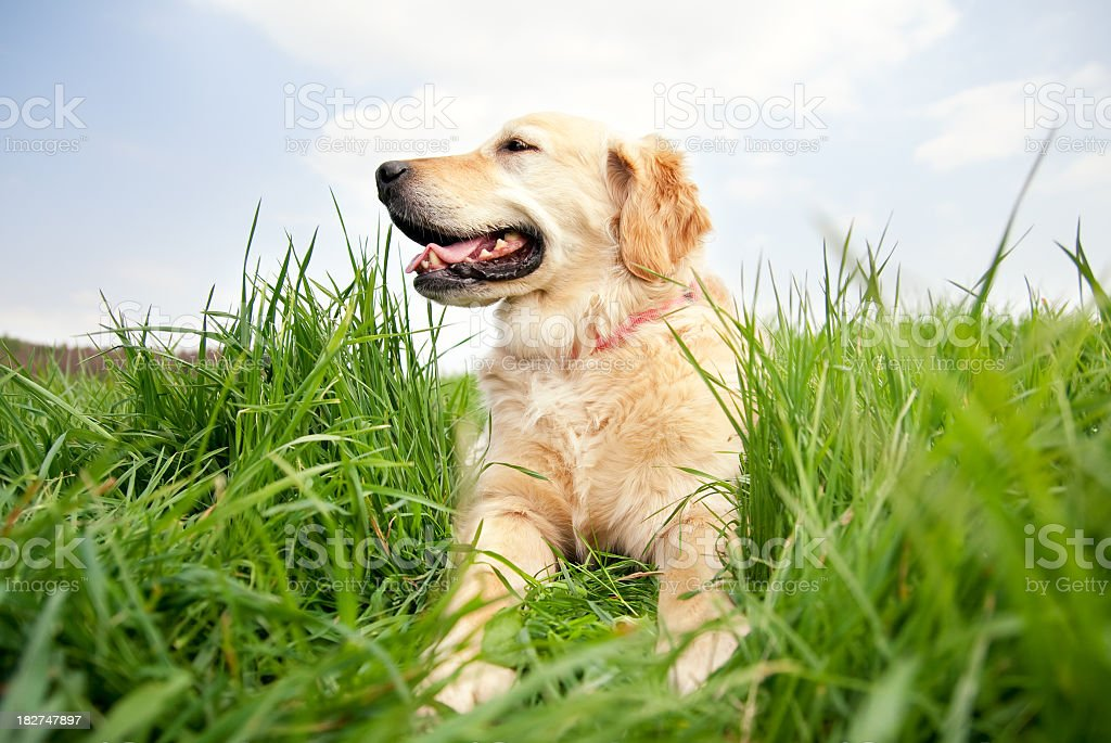 Happy Dog on a meadow royalty-free stock photo