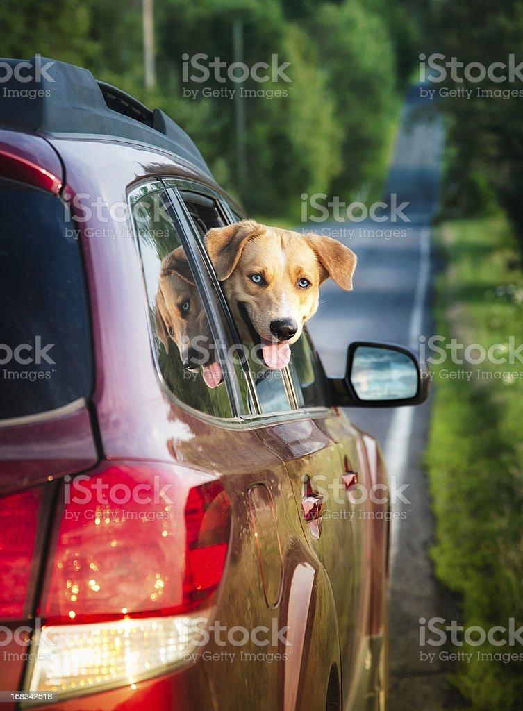 Happy dog peeking out of car window royalty-free stock photo