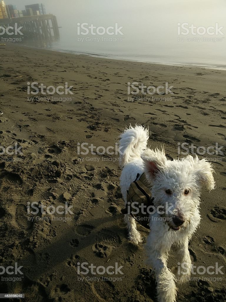 Happy Dog Playing on Beach stock photo