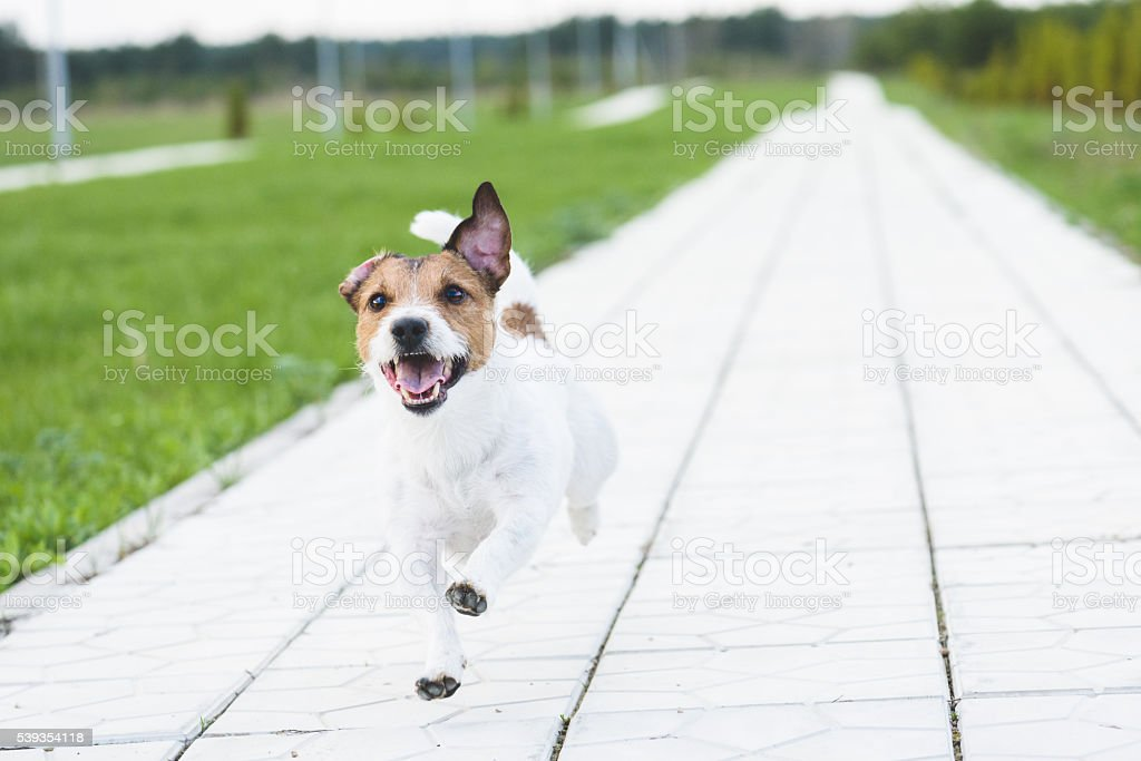 Happy dog running by alley at summer park on camera stock photo