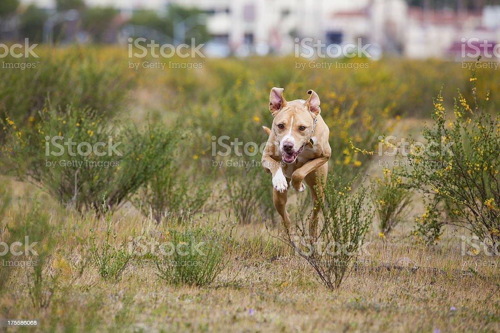 Happy dog running mid-air stock photo