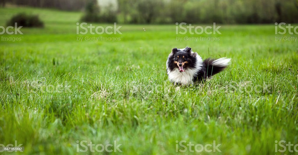 Happy dog running outdoors stock photo