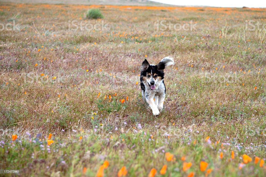 Happy dog running royalty-free stock photo