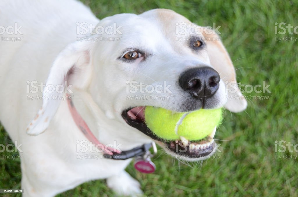 Happy dog with tennis ball in mouth. stock photo