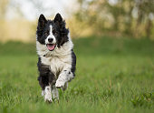 Happy dog,Border Collie, running and having fun.