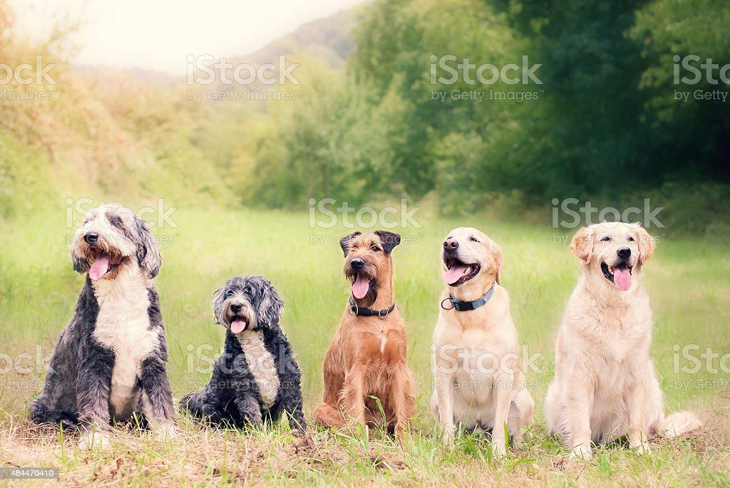 Happy Dogs at Dog School stock photo