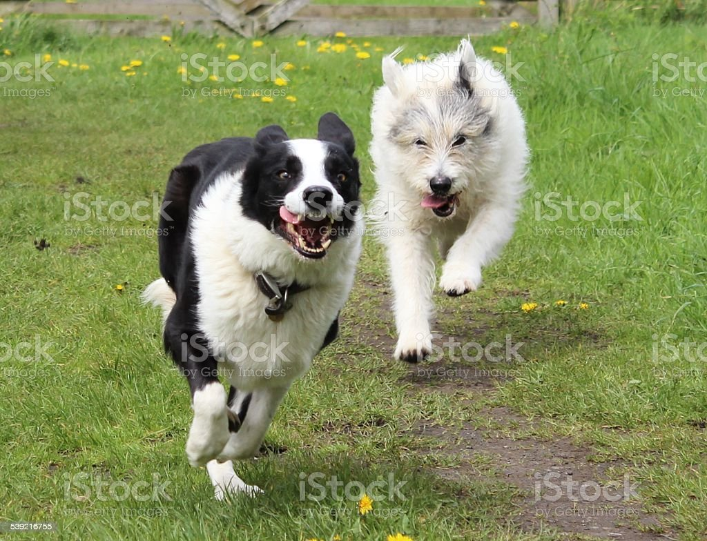 Happy dogs running stock photo
