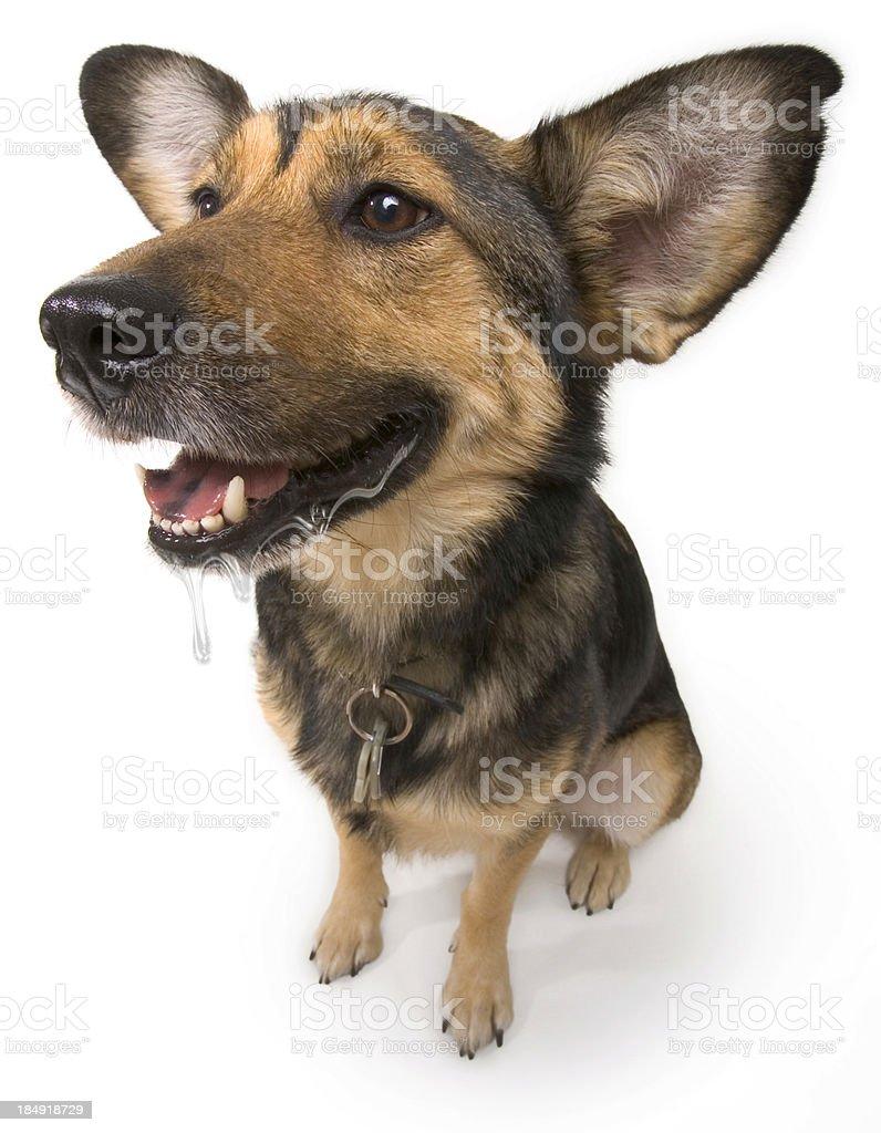 Happy Drooling Dog stock photo