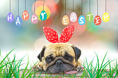 Happy Easter. Pug wearing rabbit ears pastel colorful eggs.