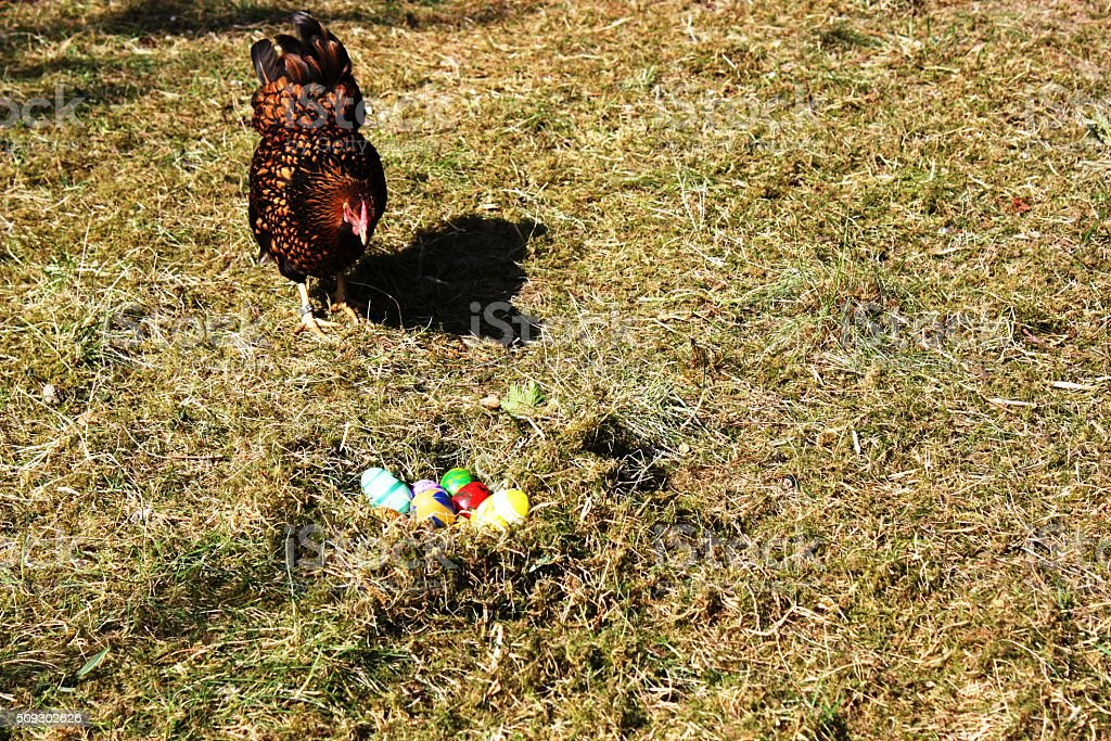 Happy Easter with Easter Eggs nest and Golden Wyandotte Hen stock photo