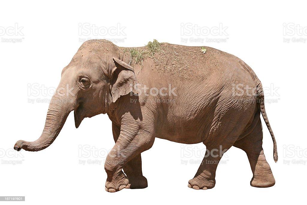 Happy Elephant isolated on white 2 stock photo