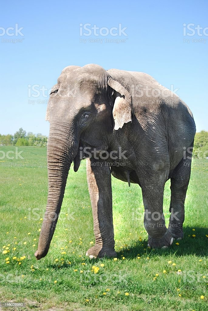 Happy elephant royalty-free stock photo