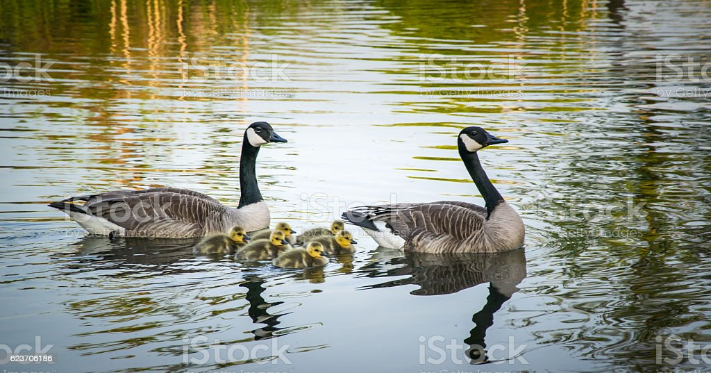 Happy family, canadian goose stock photo