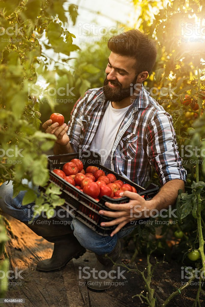 Happy farm worker collecting tomatoes in polyethylene tunnel. stock photo