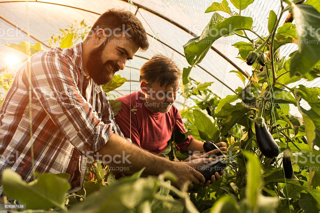 Happy father and son picking eggplants in their greenhouse. stock photo