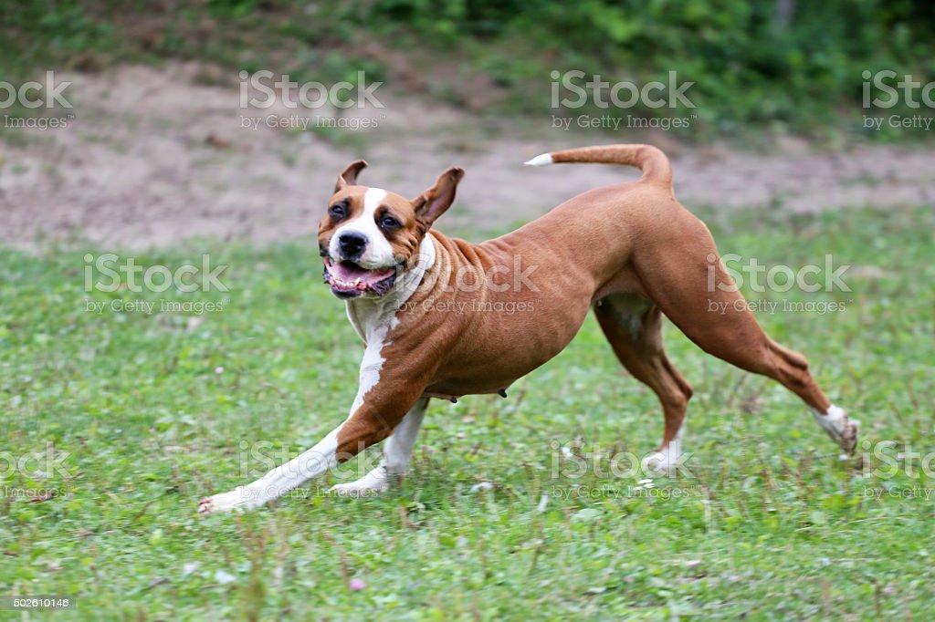 Happy female american bulldog runs on meadow stock photo