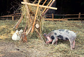 Happy free range, outdoor bred piglet, goose and duck