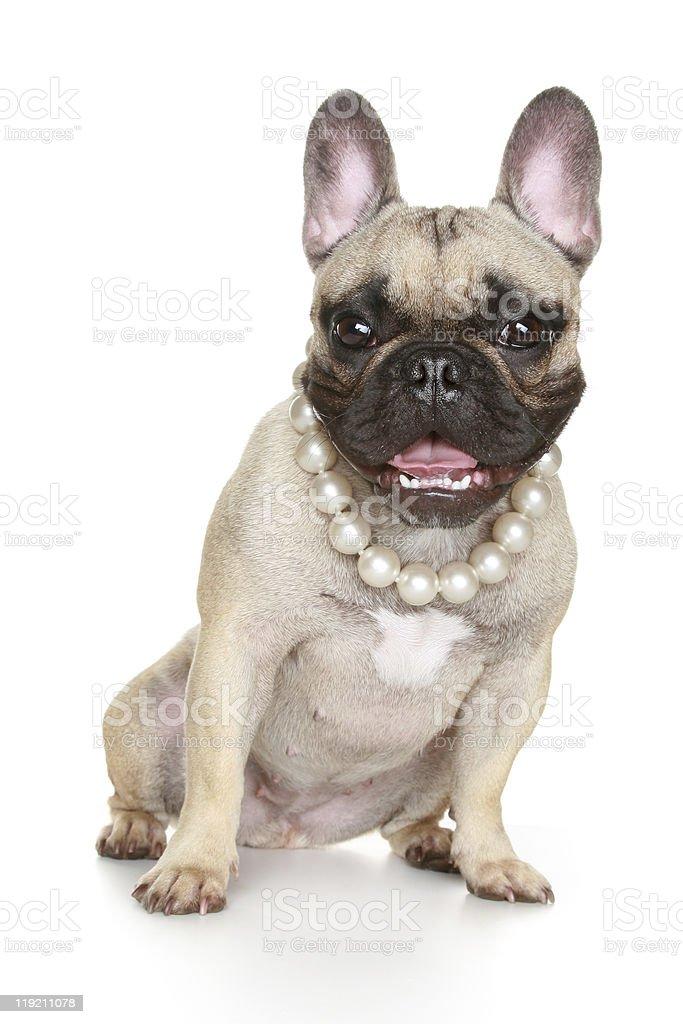 Happy French bulldog stock photo