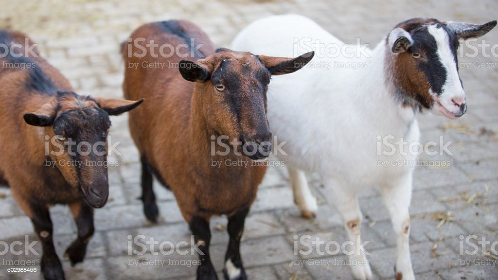 Happy Goats stock photo