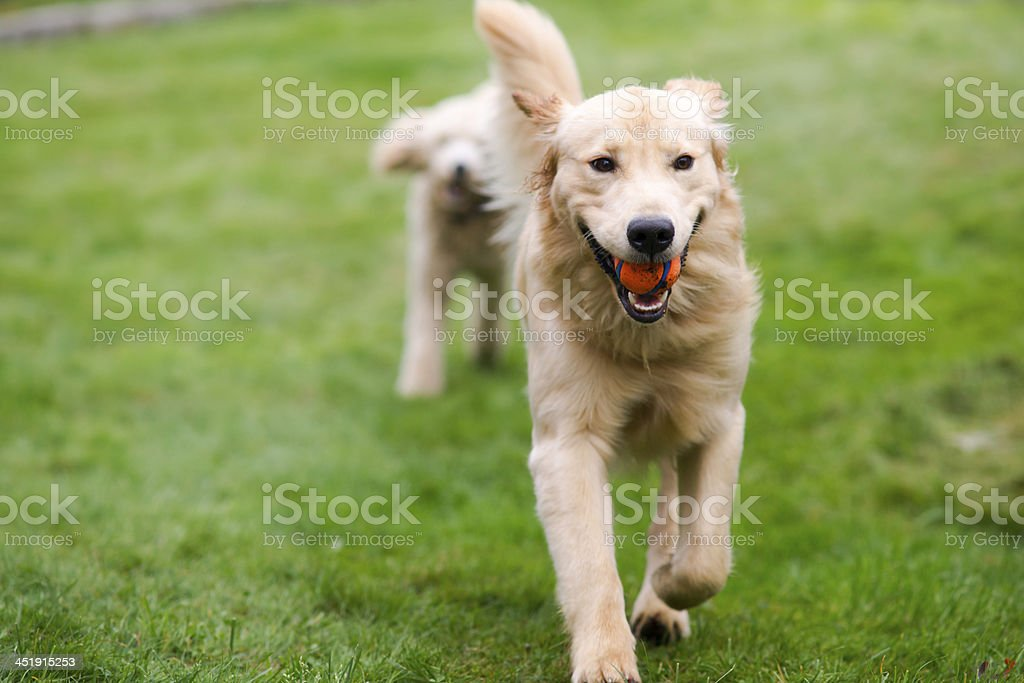 Happy Golden Retreiver Dog with Poodle Playing Fetch Dogs Pets stock photo