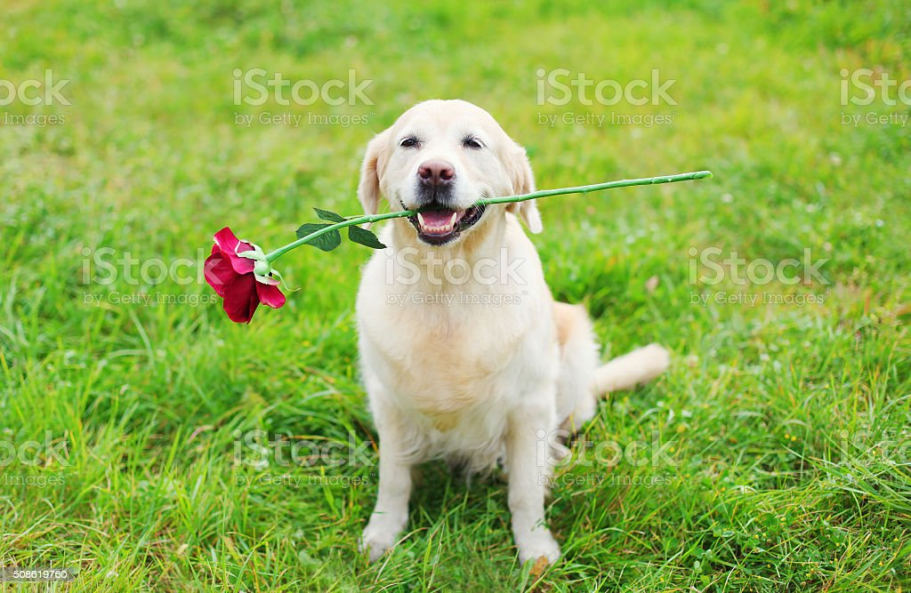 Happy Golden Retriever dog holding red flower in teeth stock photo