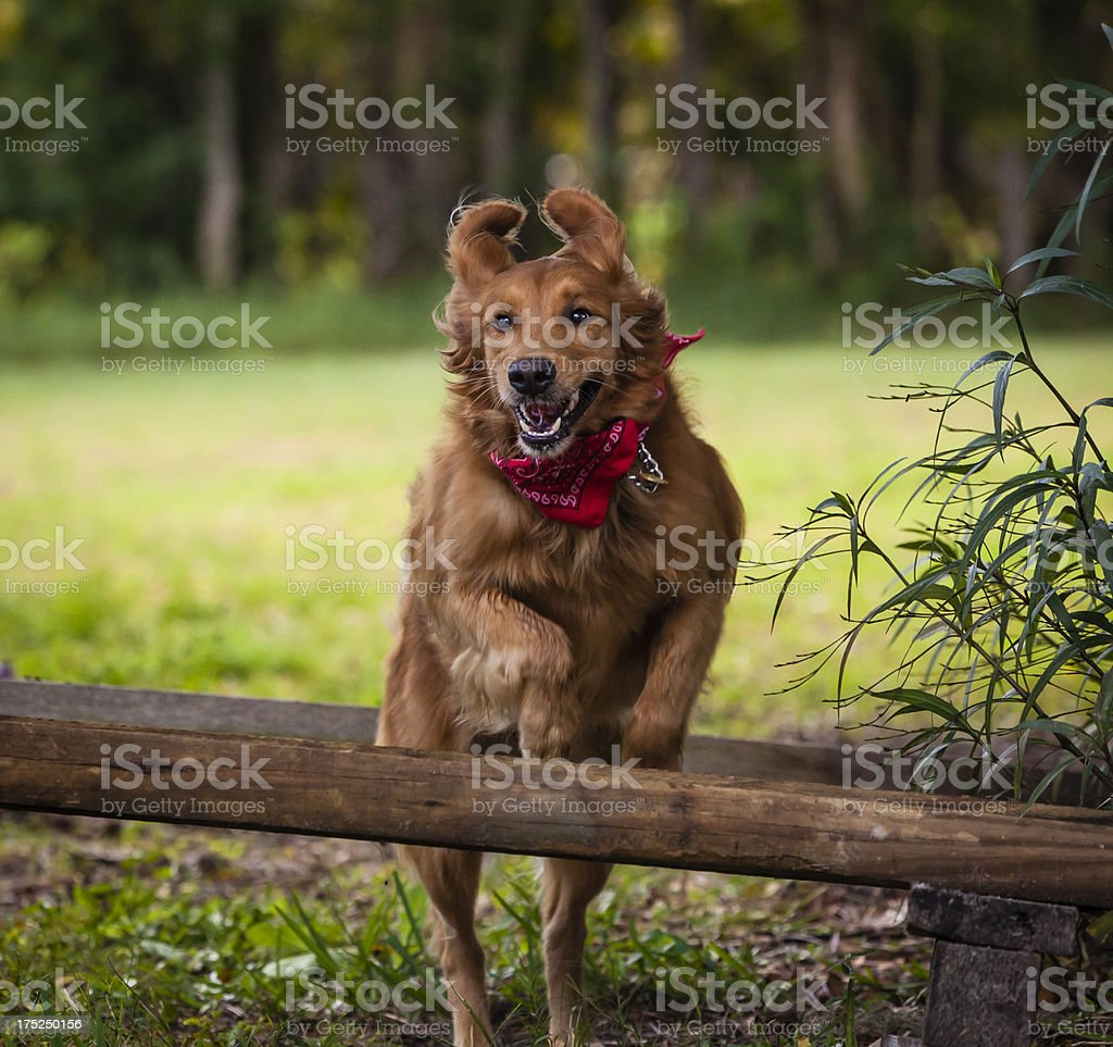 Happy Golden Retriever Jumping Over Fence Rails stock photo