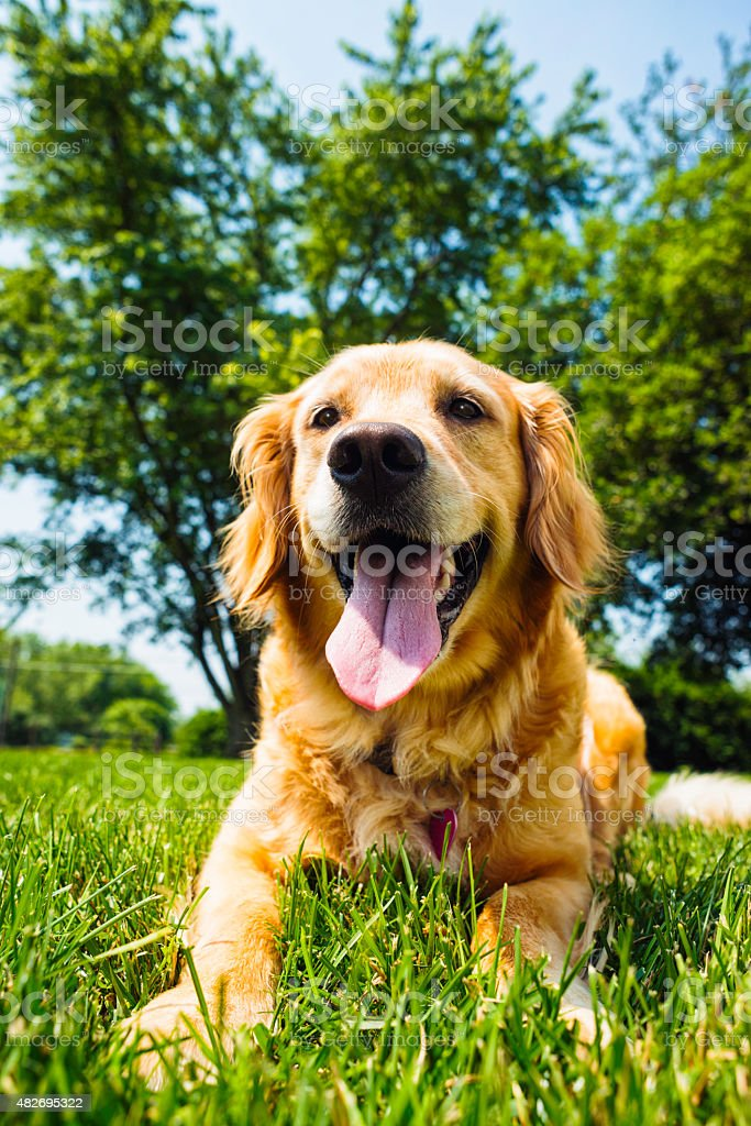 Happy Golden Retriever lying in the grass on hot day stock photo