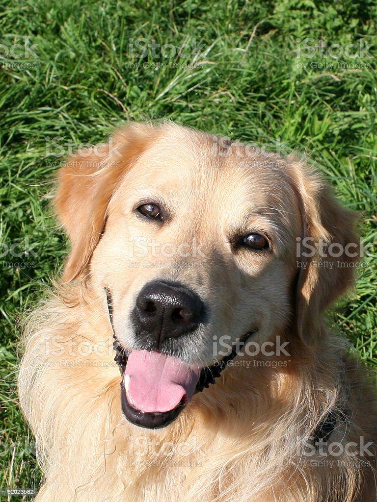 Happy Golden Retriever Portrait royalty-free stock photo