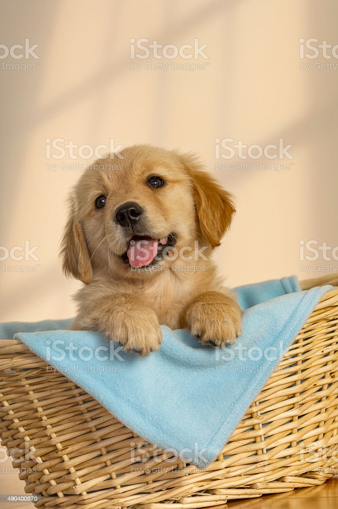 Happy Golden Retriever puppy in basket stock photo