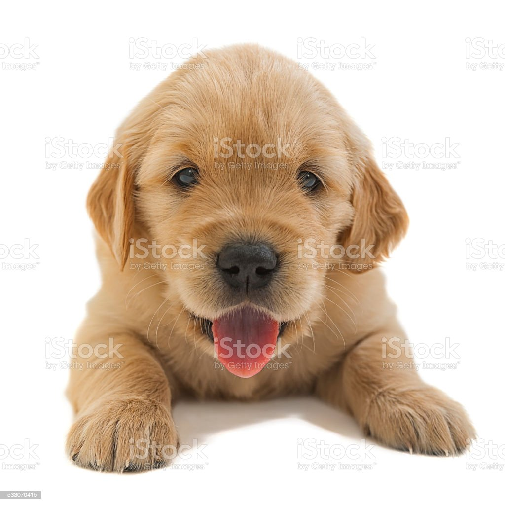 Happy Golden retriever puppy looking at camera stock photo