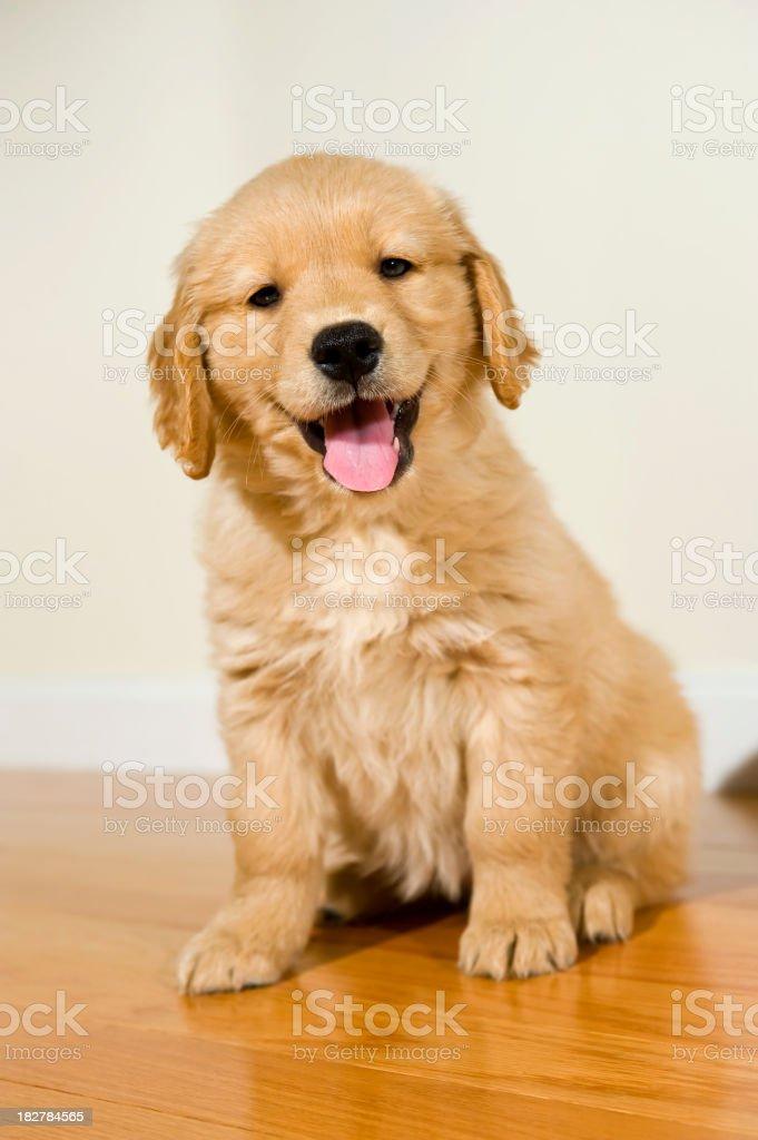 Happy Golden Retriever puppy sitting on hardwood floor stock photo