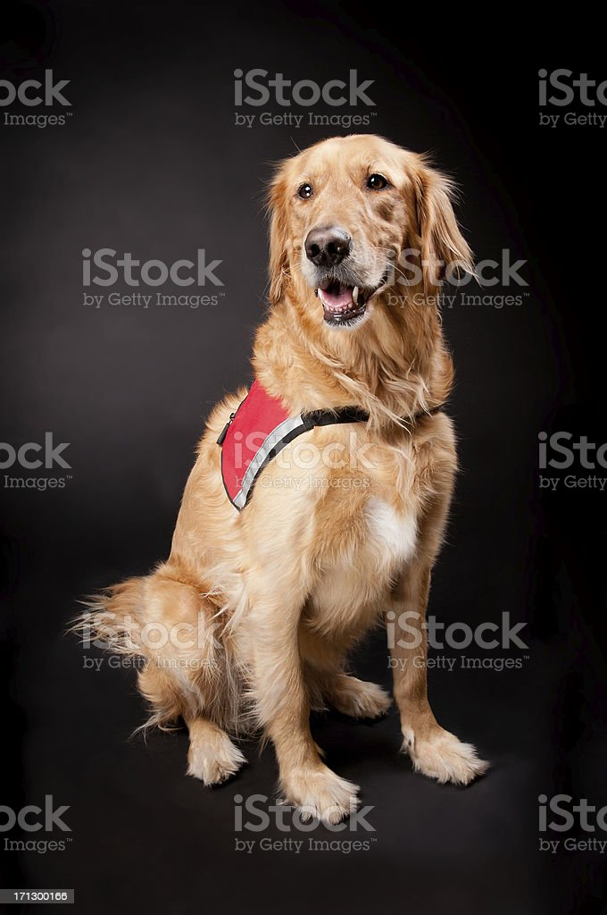 Happy Golden Retriever Rescue Dog stock photo