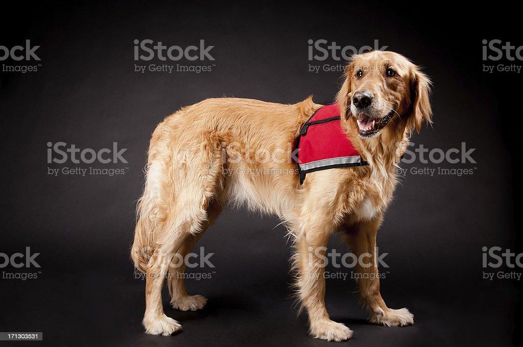 Happy Golden Retriever Rescue Dog stock photo