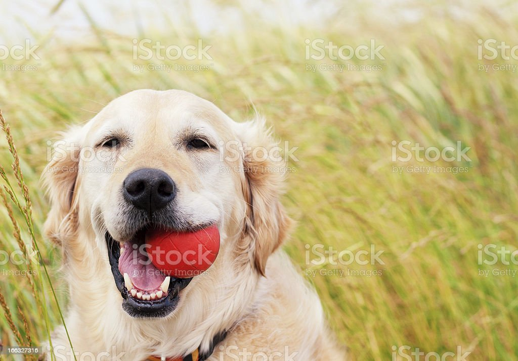 Happy Golden Retriever with ball stock photo