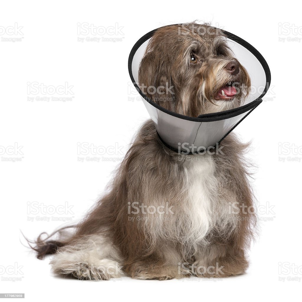 Happy grateful havanese dog is recovering and wearing a collar stock photo
