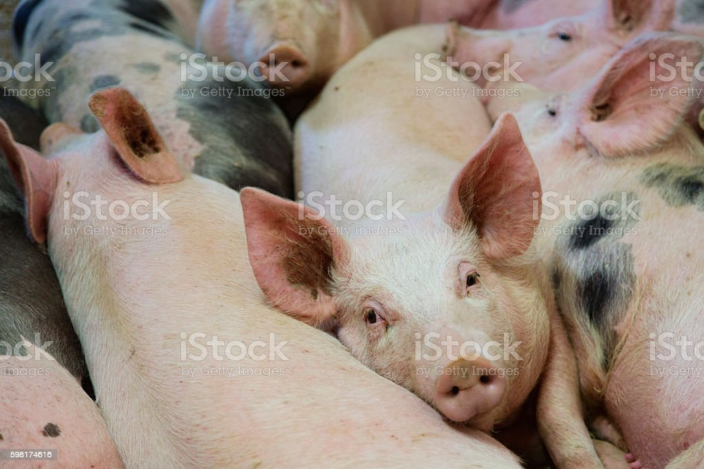 happy healthy pigs on straw in stable stock photo